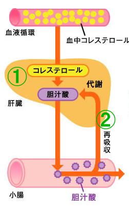 コレステロールと胆汁酸の関係